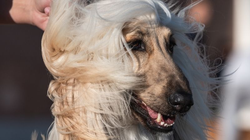 Long-haired dog