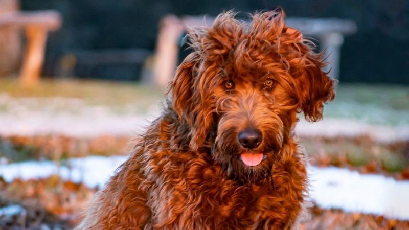 Matted hair dog